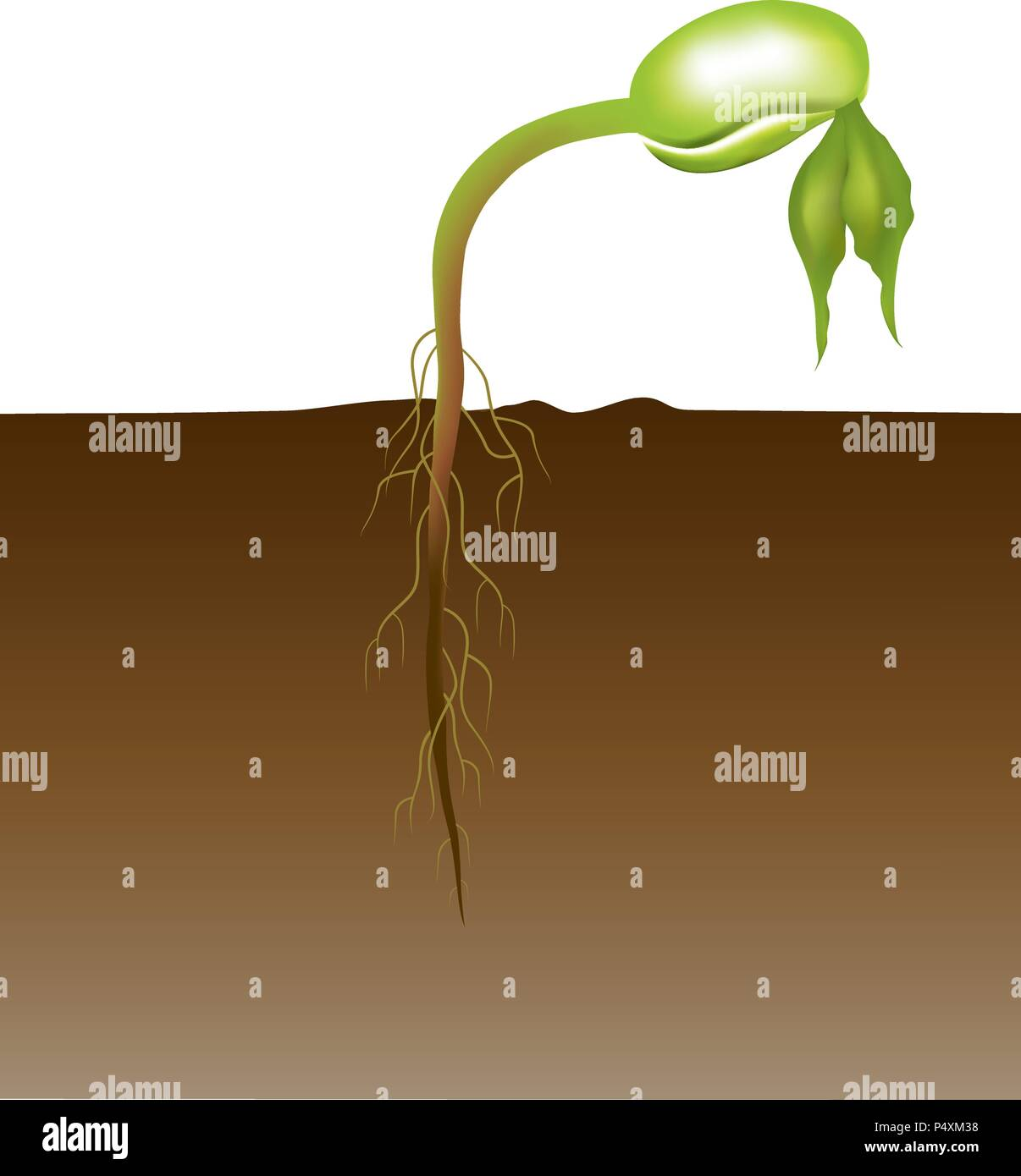 Seed germination is a process by which a seed embryo develops into a seedling. It involves the reactivation of the metabolic pathways that lead to gro - Stock Vector