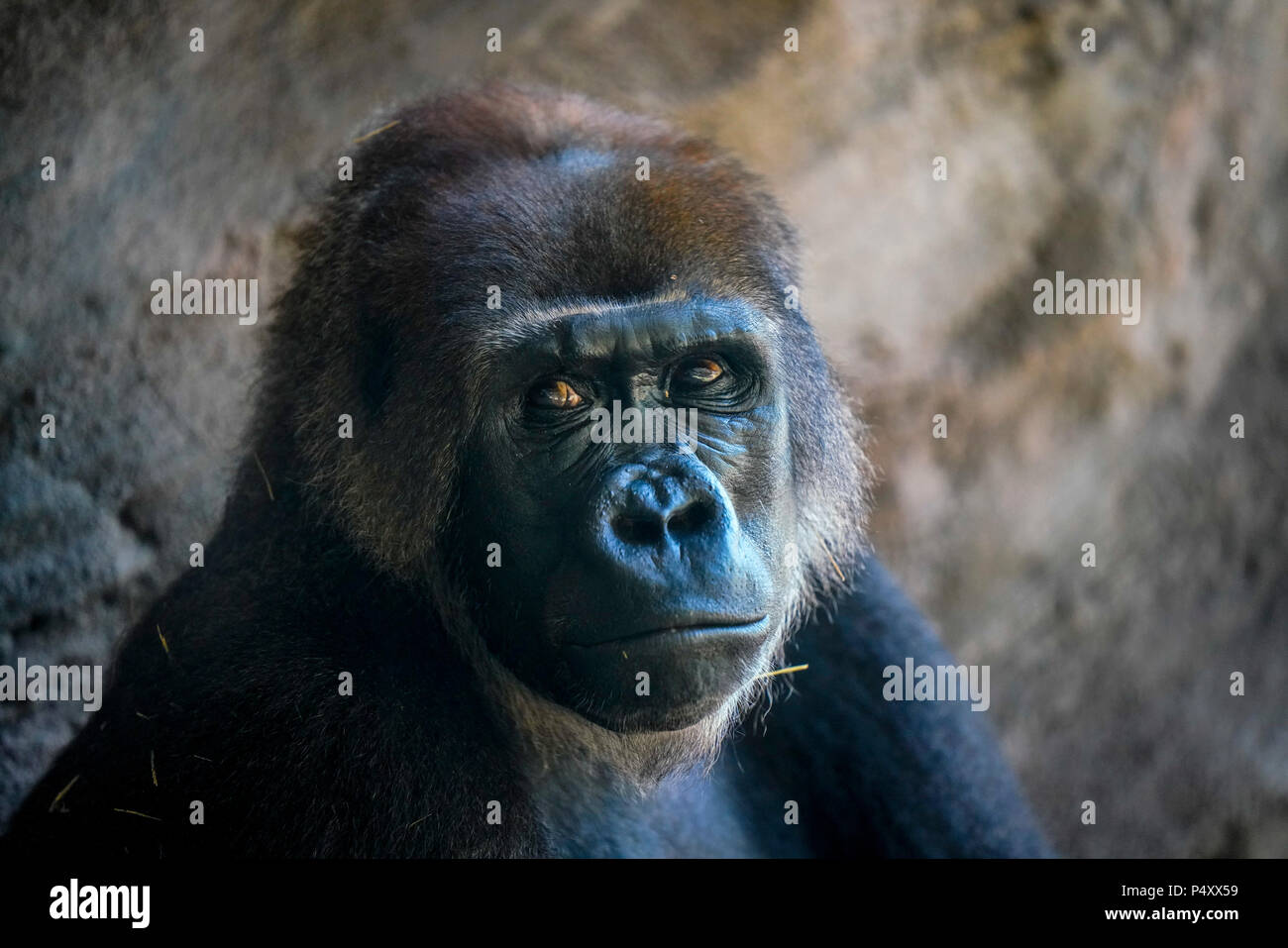 Gorilla - Kilimanjaro Safaris is a safari attraction at Disney's Animal Kingdom on the Walt Disney World Resort property in Lake Buena Vista, Florida. - Stock Image