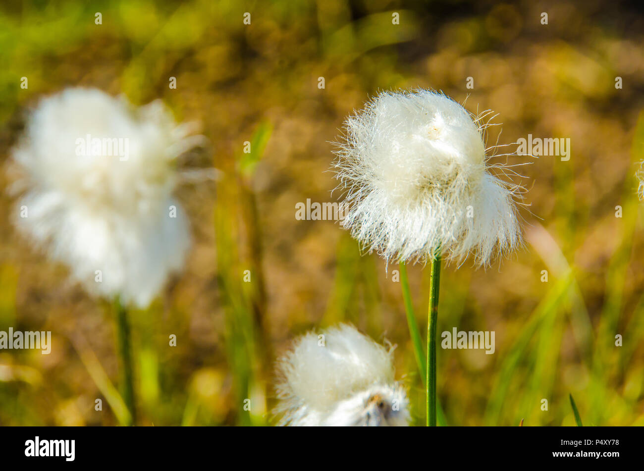 Landmannalaugar - Amazing flower field in the Highland of Iceland - Stock Image
