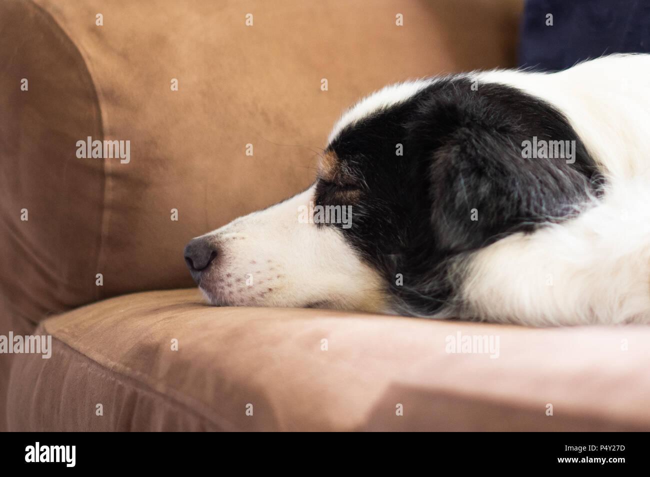Black and White Dog Asleep on Brown Sofa - Stock Image