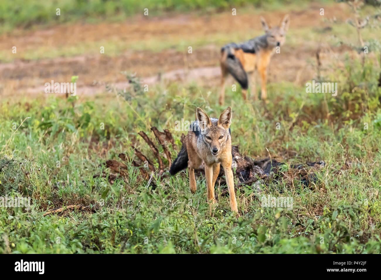 Black-backed Jackal (Canis mesomelas) protecting a carcus in Serengeti National Park, Tanzania - Stock Image