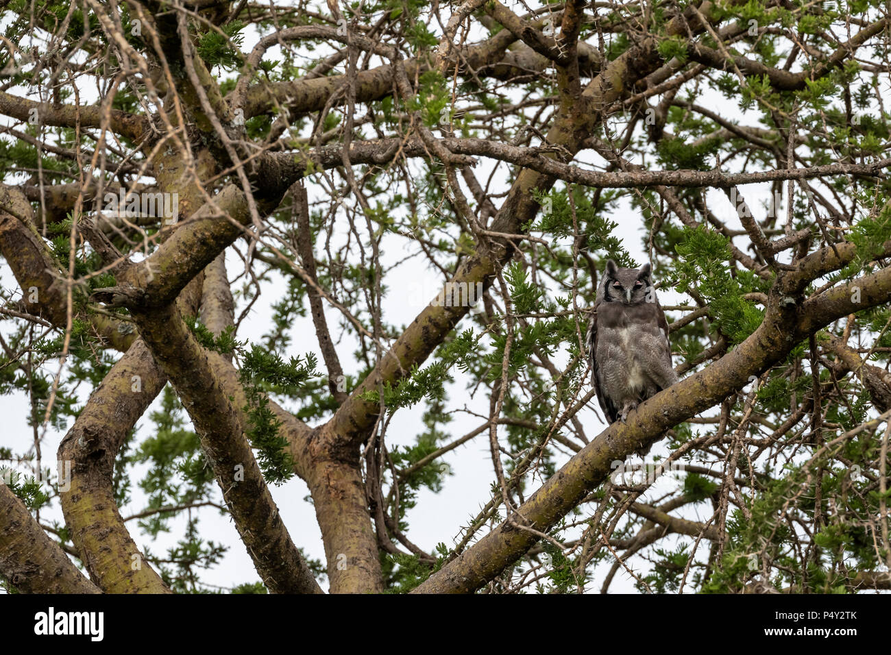 Verreaux's Eagle-Owl (Bubo lacteus) perched in a tree in Serengeti National Park, Tanzania - Stock Image