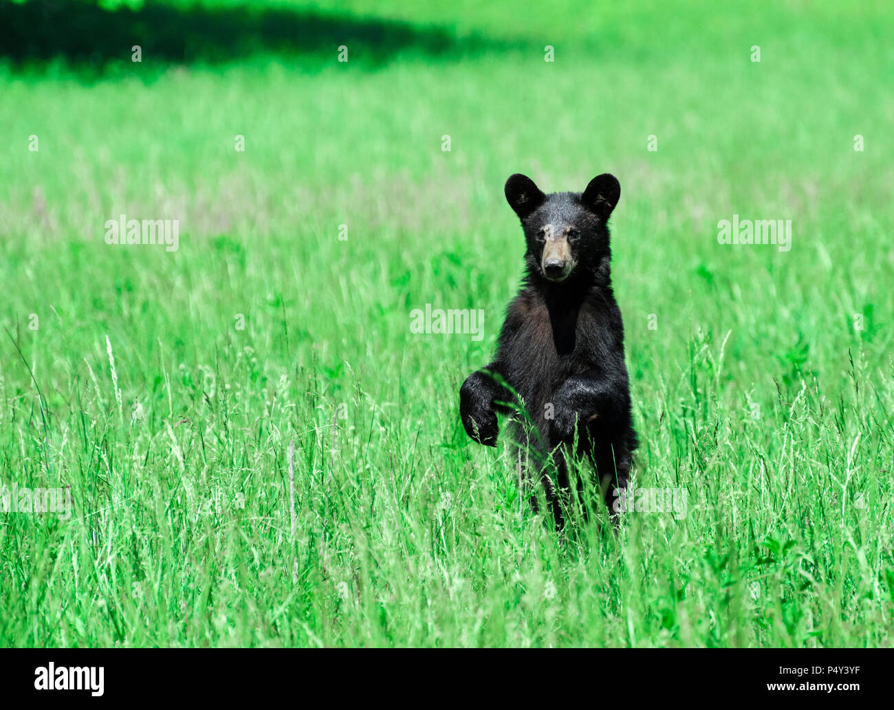 Horizontal shot of a North American Black Bear standing in a green field looking toward the camera. - Stock Image