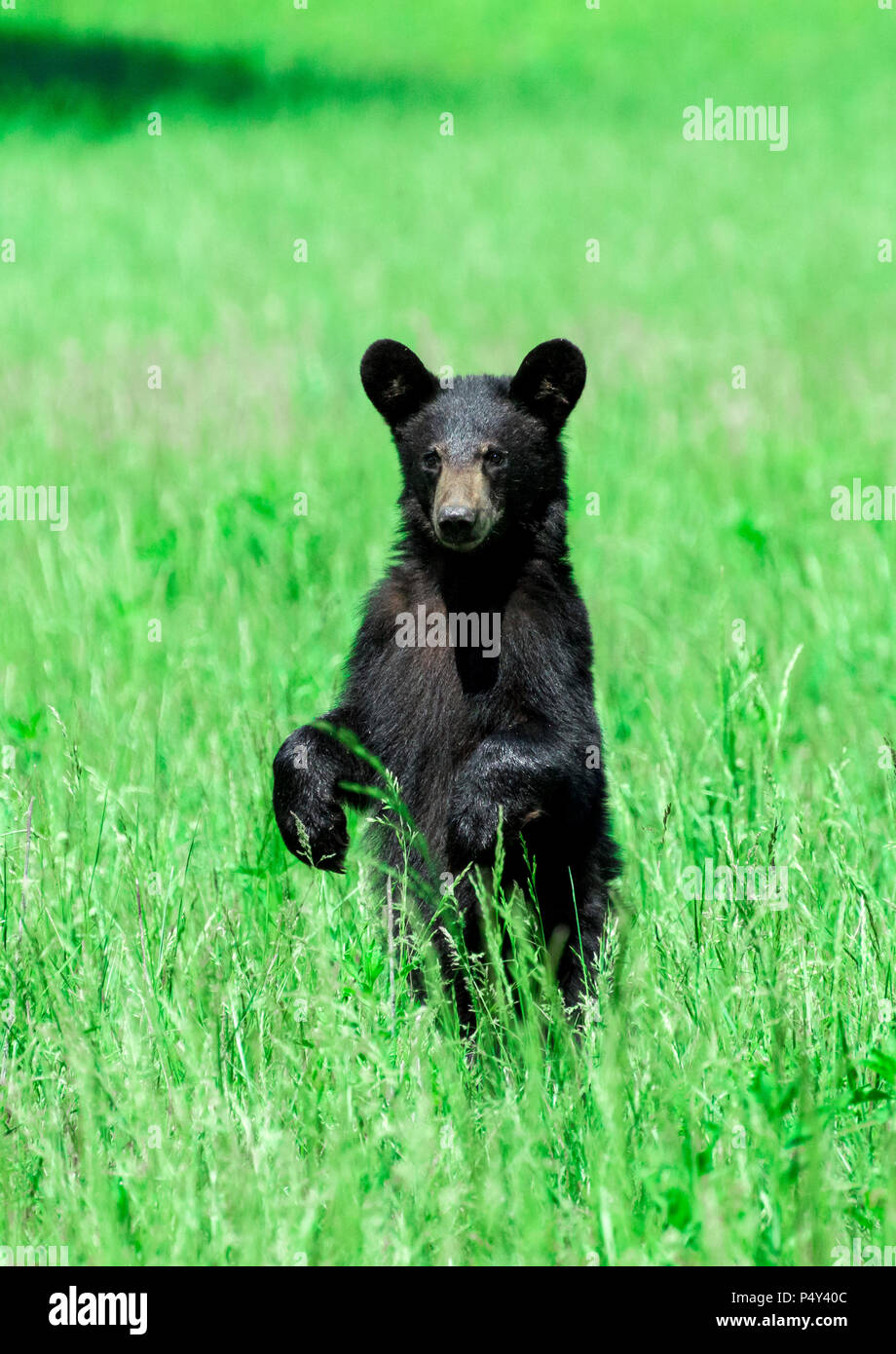 Vertical shot of a North American Black Bear standing in a green field looking toward the camera. - Stock Image