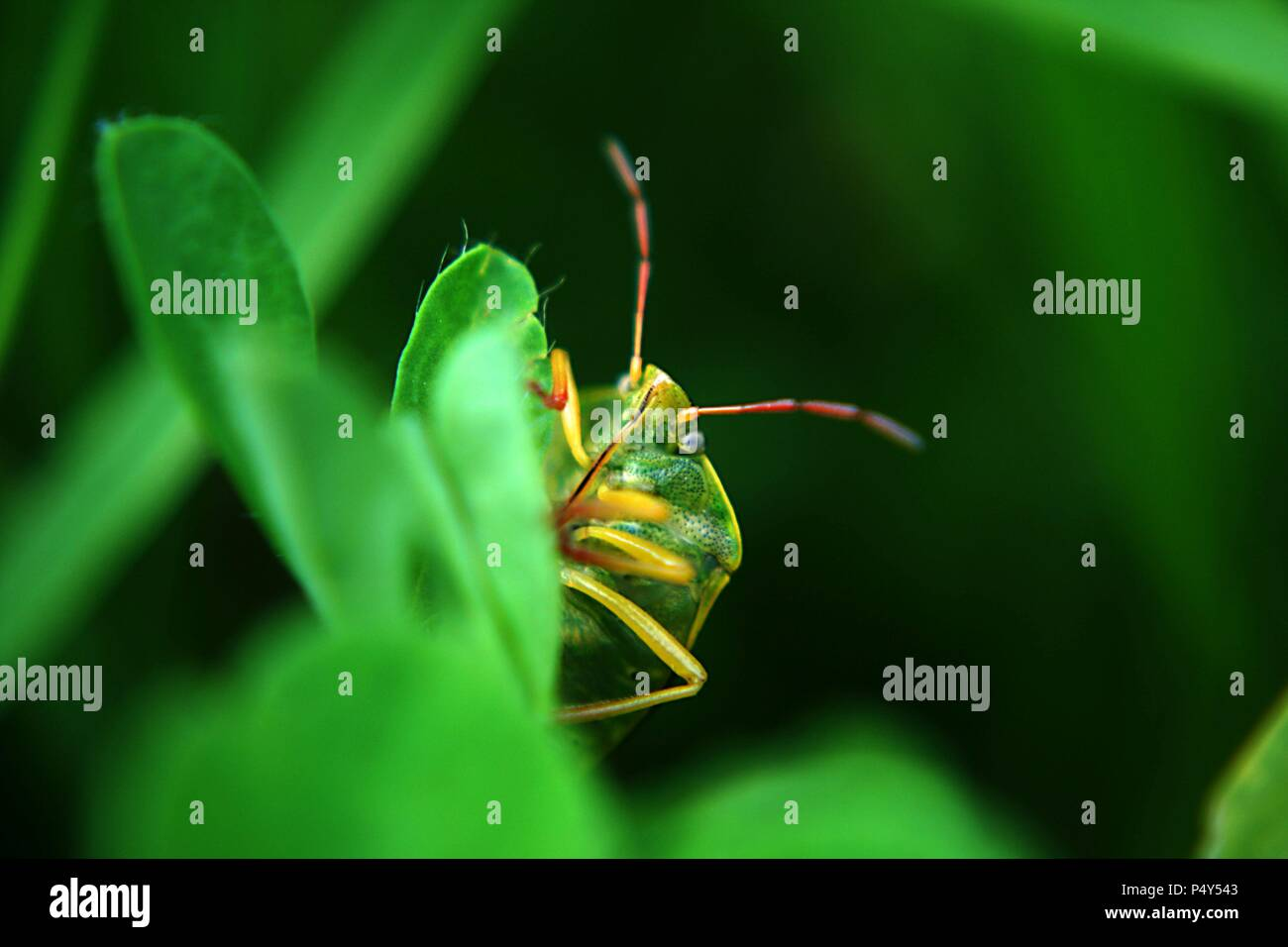 Green Shield Bug in the undergrowth - Stock Image