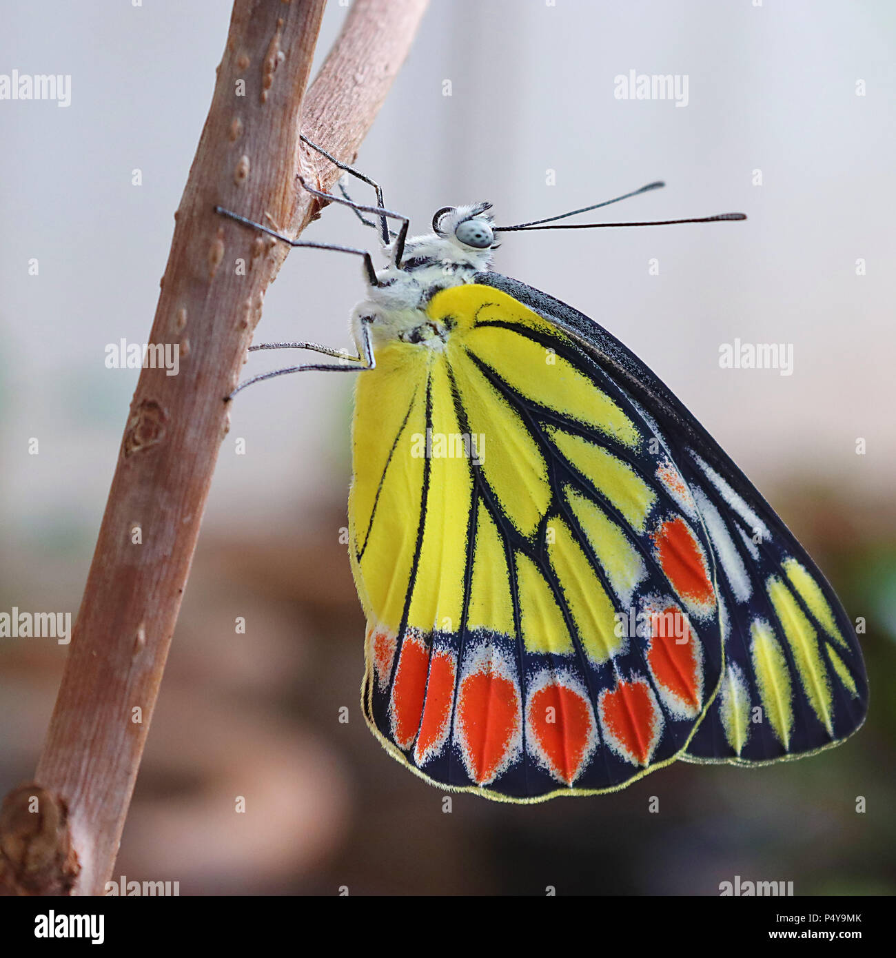 Common Jezebel butterfly waiting to spread its wings - Stock Image