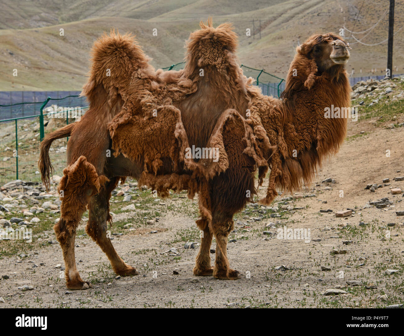 Bactrian camel herd on the Kazakh grasslands, Keketuohai, Xinjiang, China - Stock Image