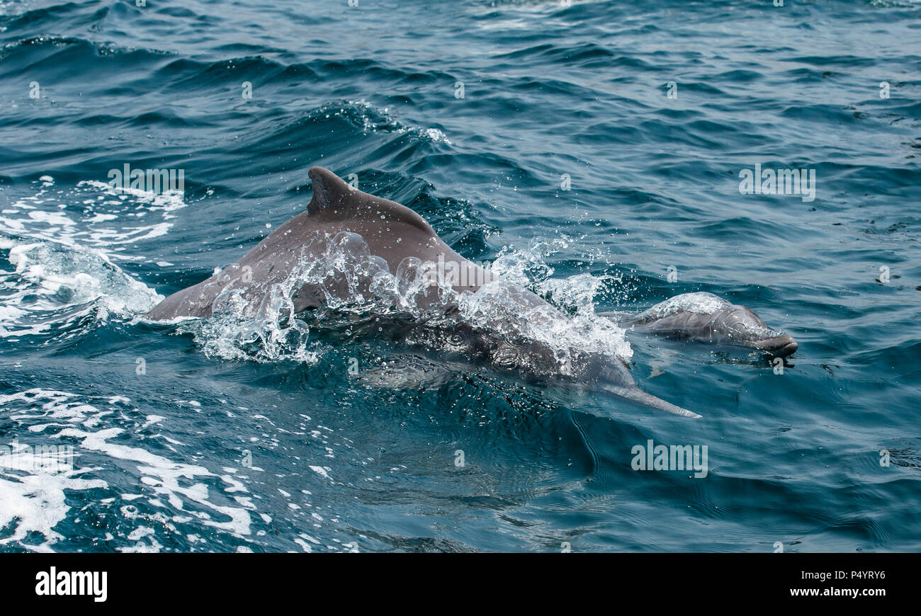 dolphins in a coastal waters of Musandam - Stock Image