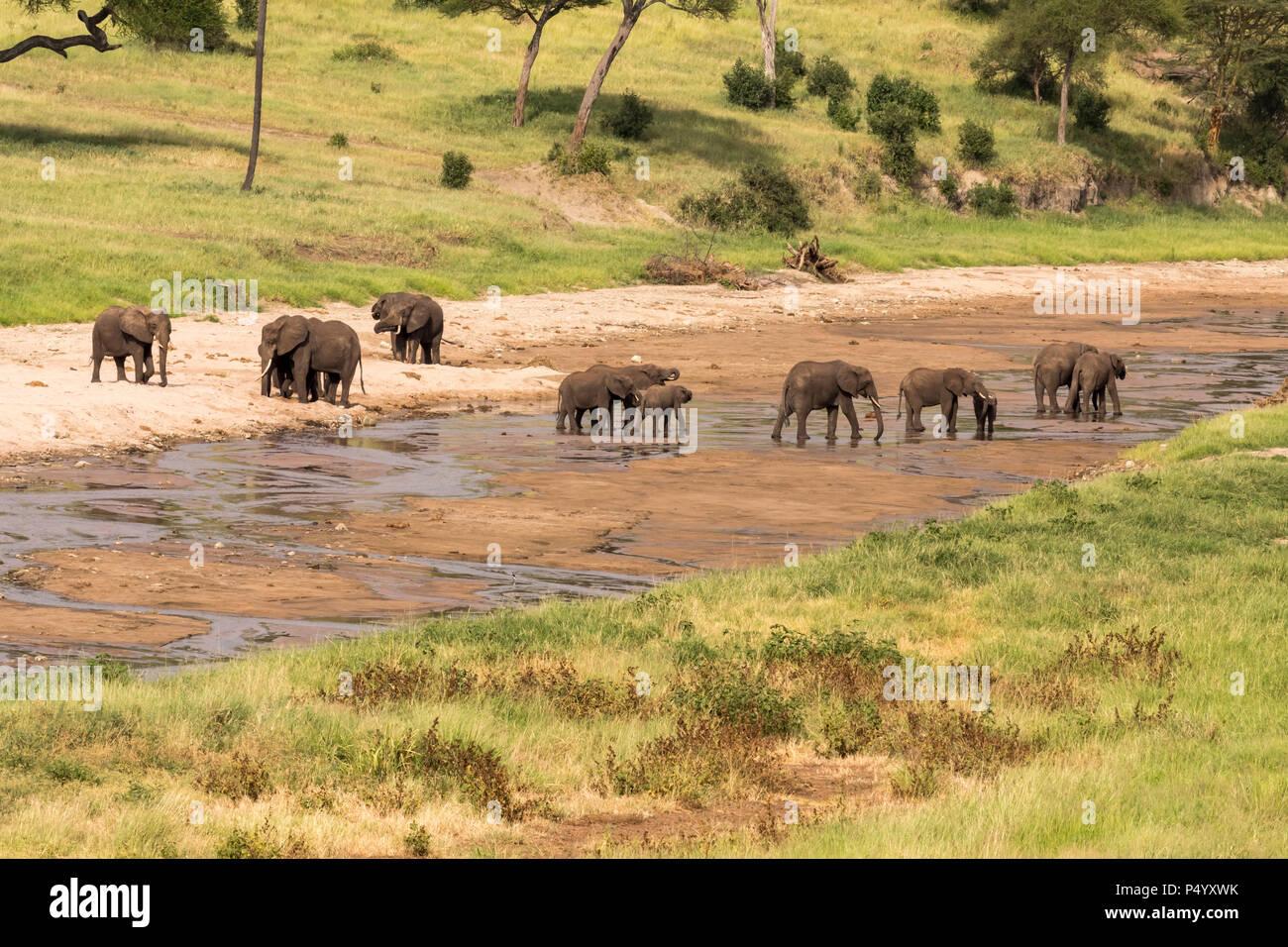 African Elephant (Loxodonta africana) herd drinking water from Tarangire River in Tarangire National Park, Tanzania - Stock Image