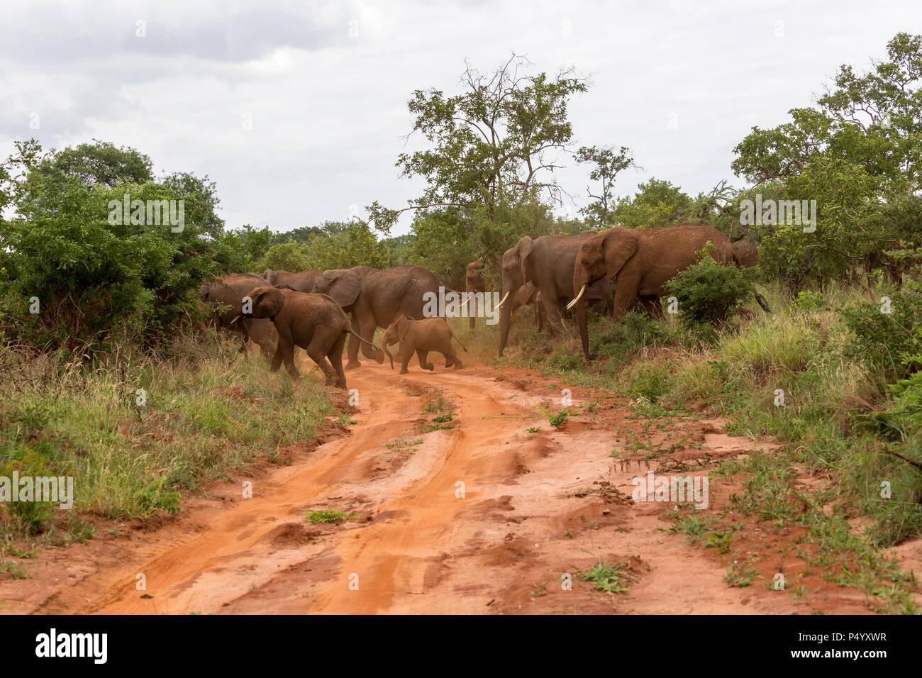 African Elephant (Loxodonta africana) herd in woodland savannah in Tarangire National Park, Tanzania - Stock Image
