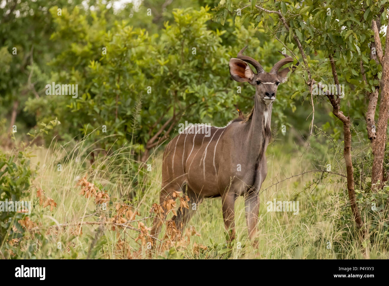 Lesser Kudu (Tragelaphus imberbis) male on the savannah in Tarangire National Park, Tanzania - Stock Image