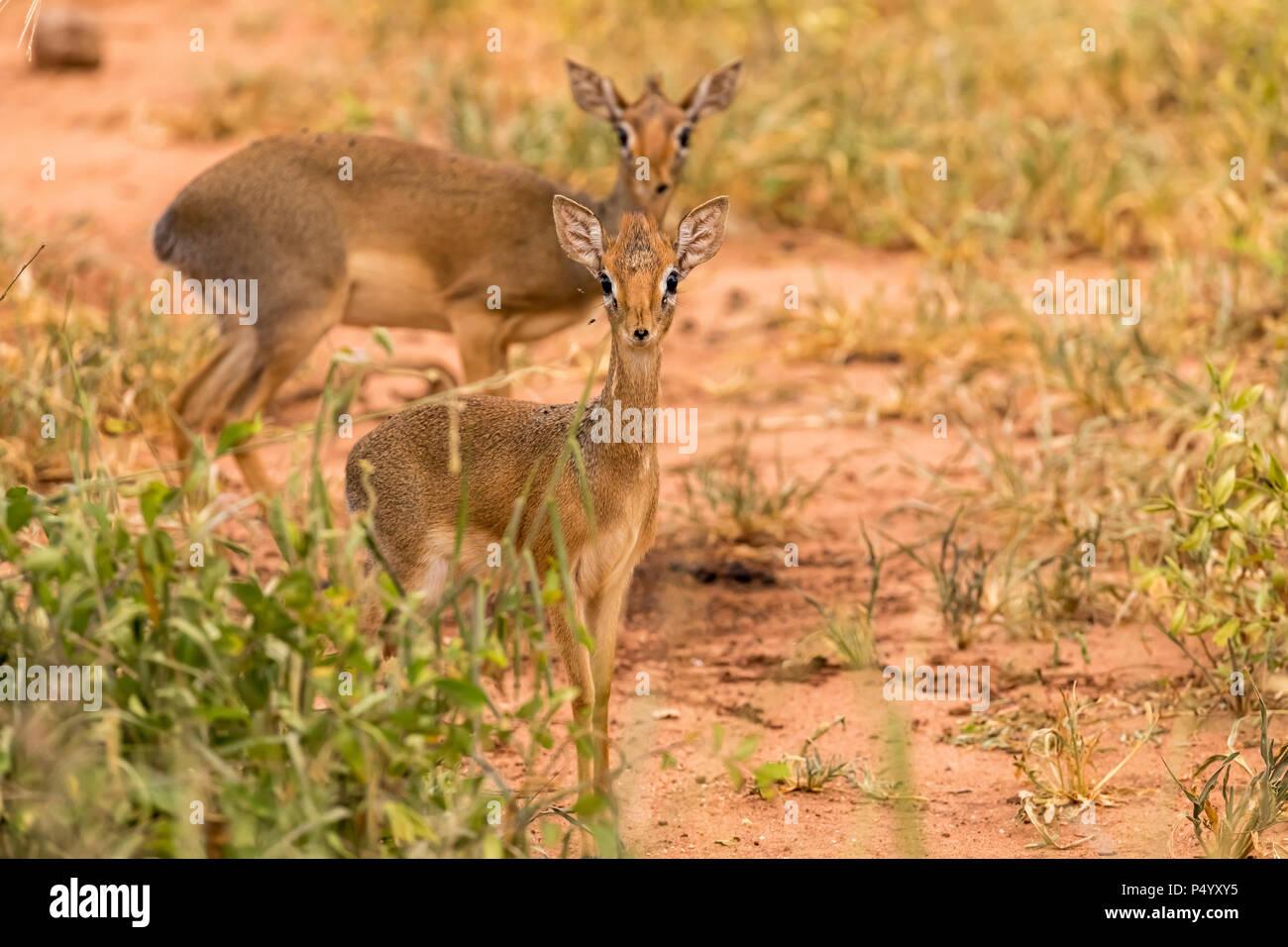 Kirk's Dik-Dik (Madoqua kirkii) on the savannah in Tarangire National Park, Tanzania - Stock Image