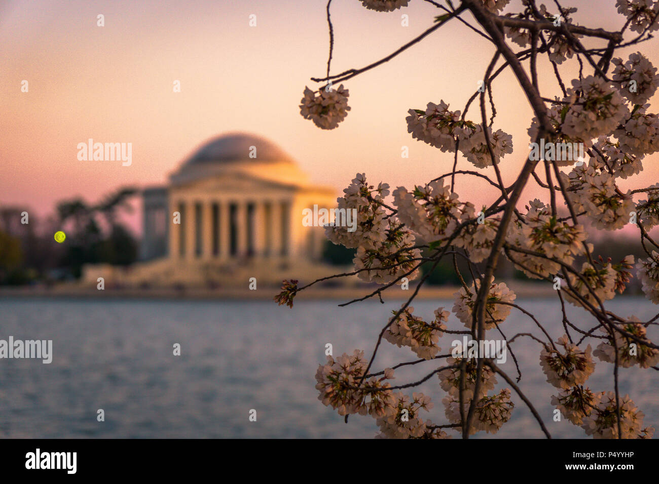 The Jefferson Memorial framed by blooming cherry blossoms during the Cherry Blossom Festival in Washington, DC - Stock Image
