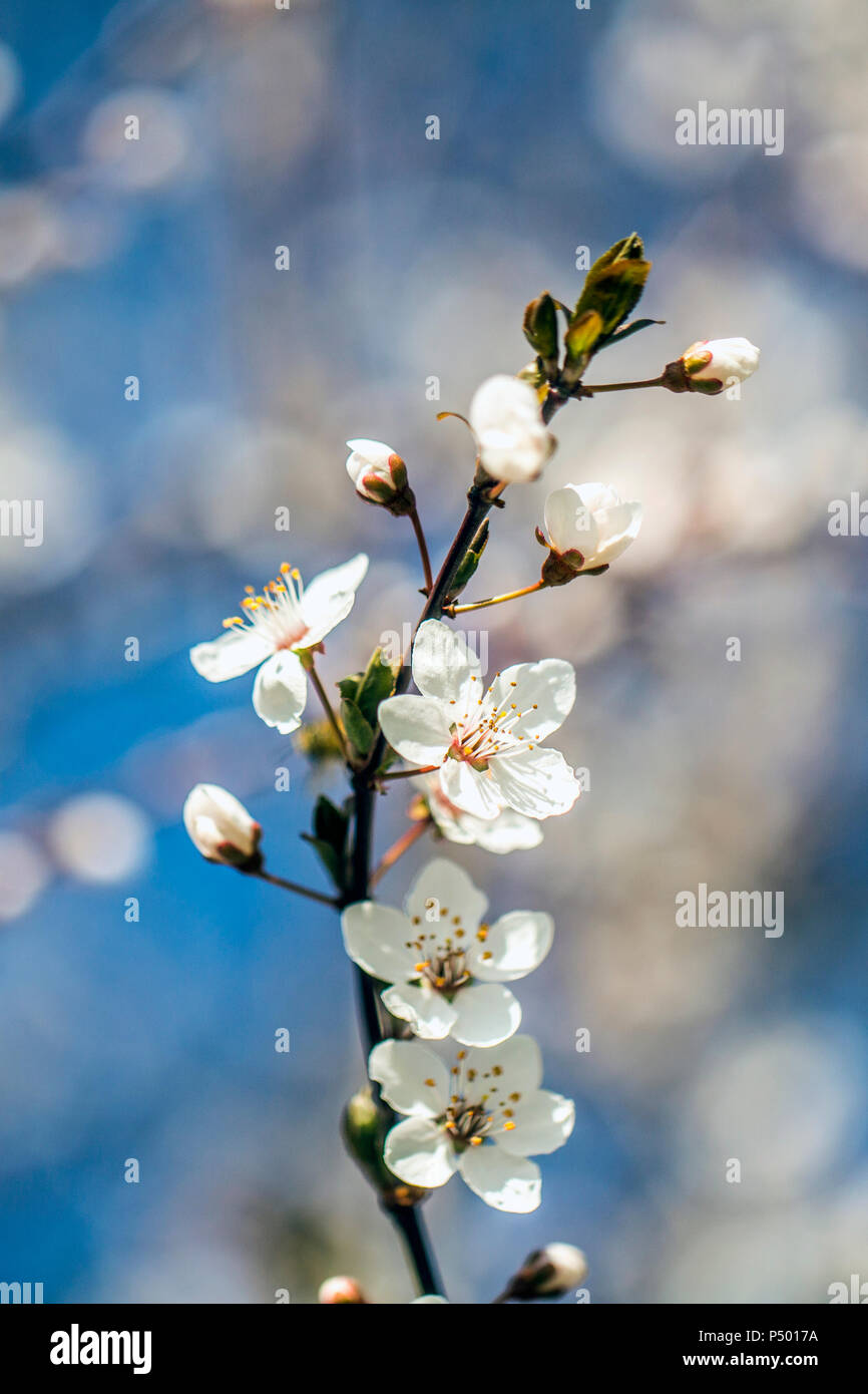 Twig of flowering plum, close-up - Stock Image
