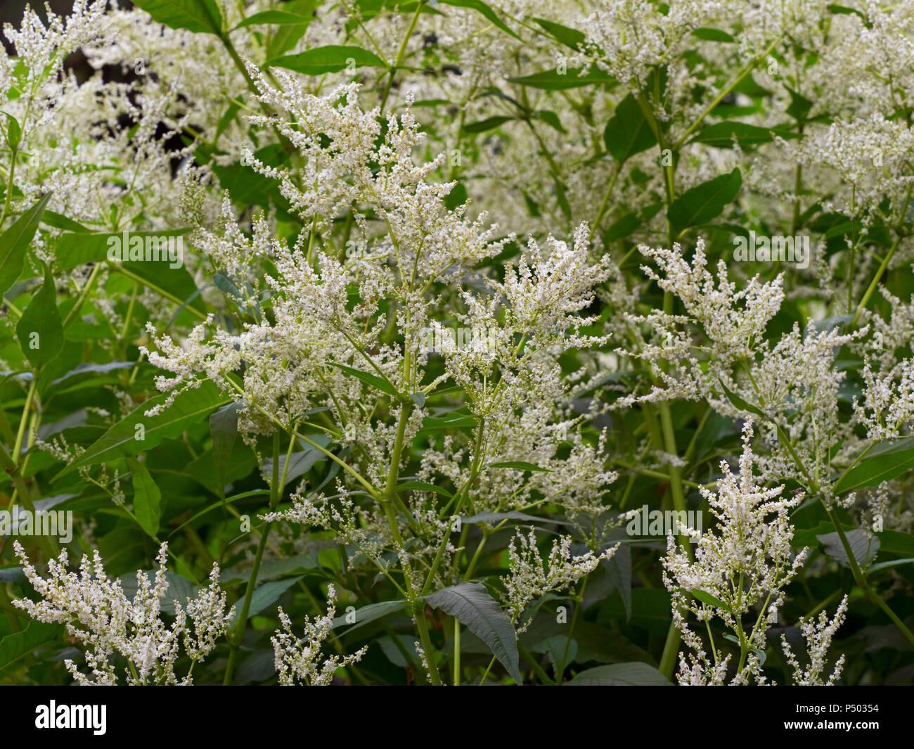 Giant Fleece Flower Persicaria Polymorpha Stock Photo 209600192 Alamy