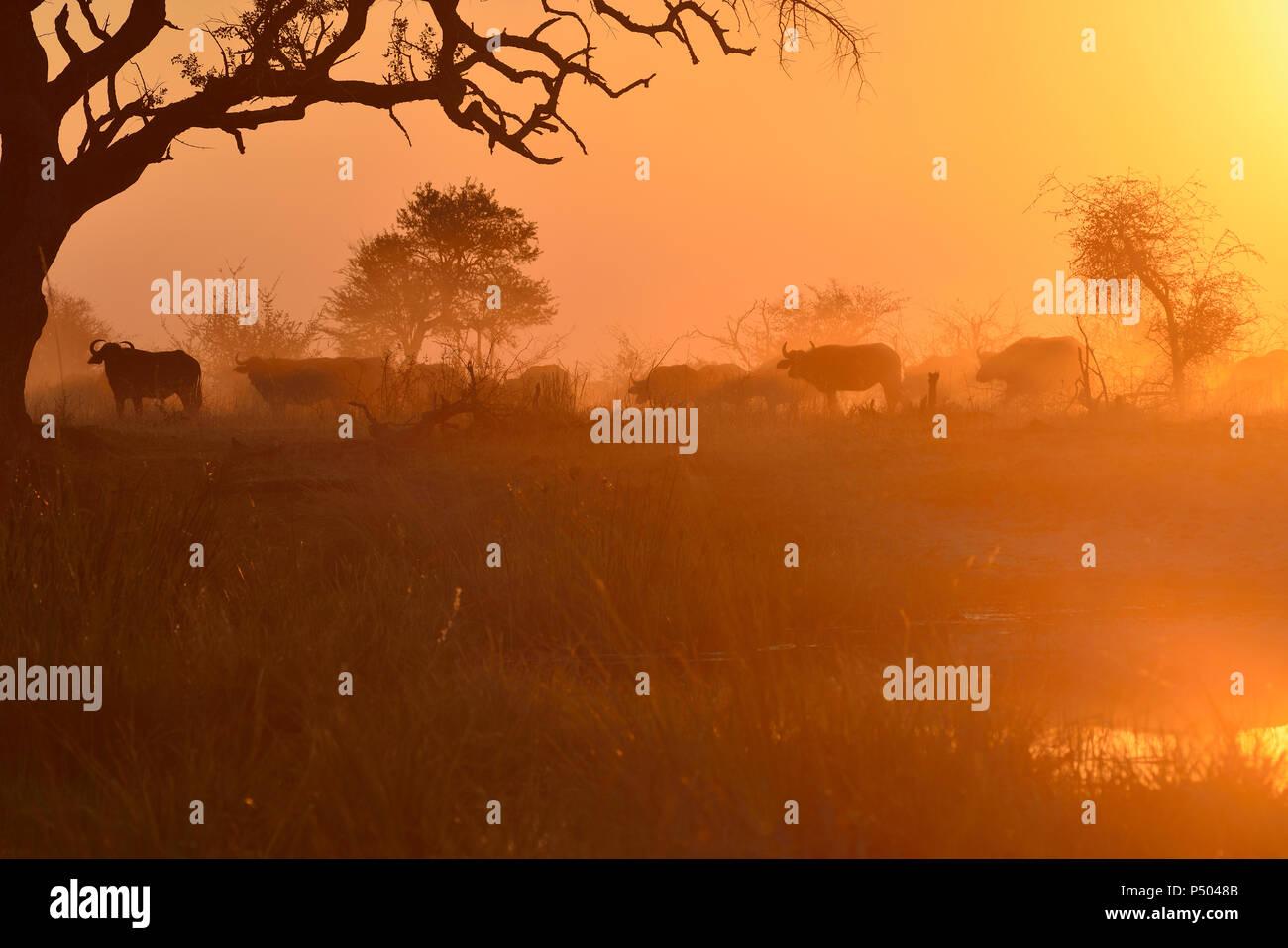 Africa, Namibia, Bwabwata National Park, Kwando Core Area, herd of buffalos - Stock Image
