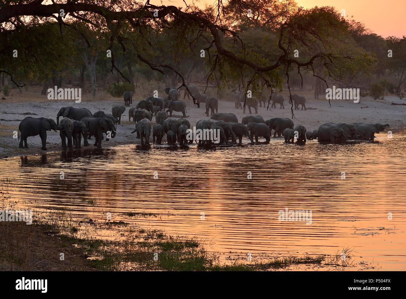 Africa, Namibia, Bwabwata National Park, Kwando Core Area, Horseshoe, Kwando river, herd of elephants in the evening, Loxodonta africana - Stock Image