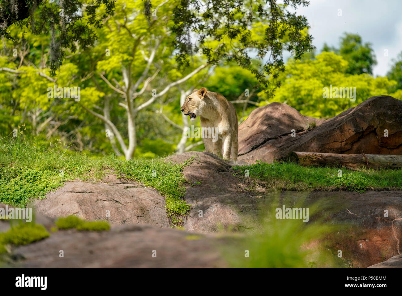 Kilimanjaro Safaris is a safari attraction at Disney's Animal Kingdom on the Walt Disney World Resort property in Lake Buena Vista, Florida. - Stock Image
