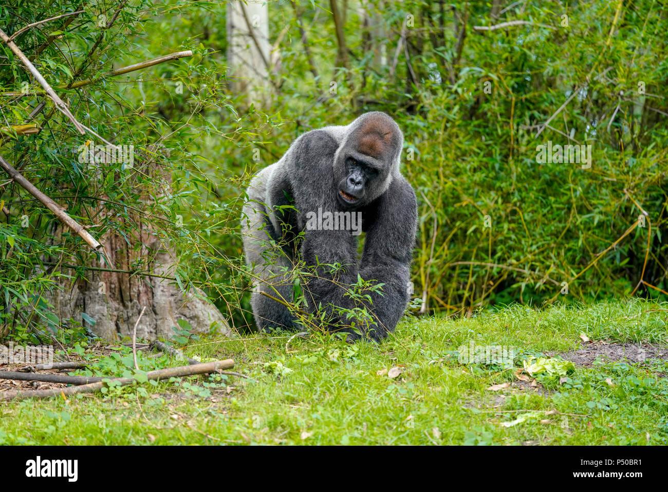 Image of: Orlando Gorilla Kilimanjaro Safaris Is Safari Attraction At Disneys Animal Kingdom On The Walt Disney World Resort Property In Lake Buena Vista Florida Alamy Gorilla Kilimanjaro Safaris Is Safari Attraction At Disneys