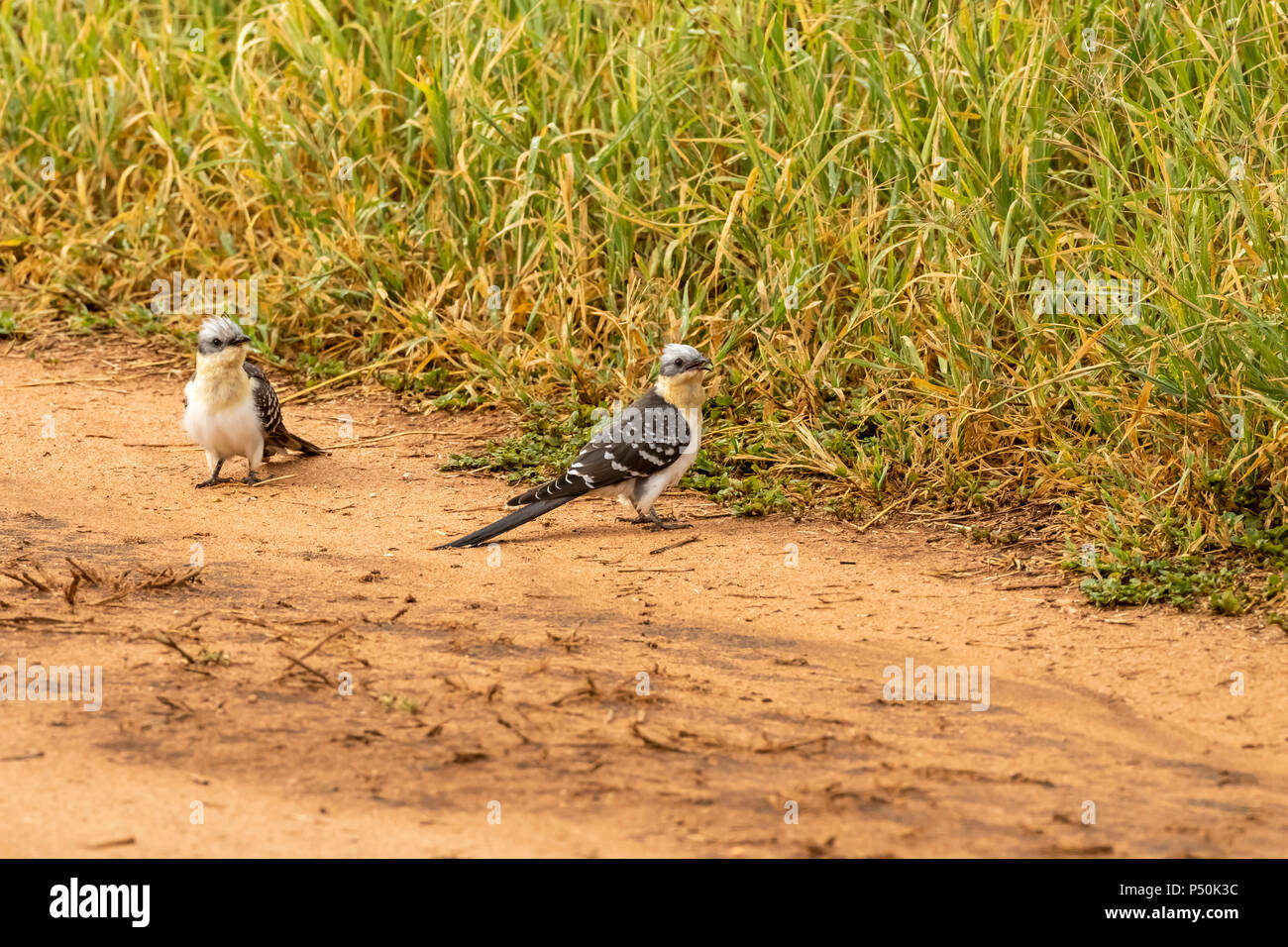 Great Spotted Cuckoo (Clamator glandarius) pair on the savannah in Tarangire National Park, Tanzania - Stock Image