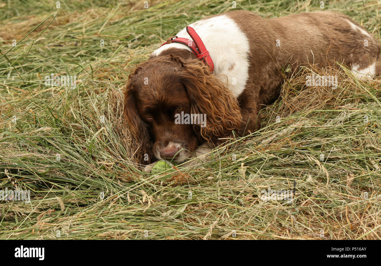 An adorable but very naughty English Springer Spaniel Dog tearing his ball to pieces. Stock Photo