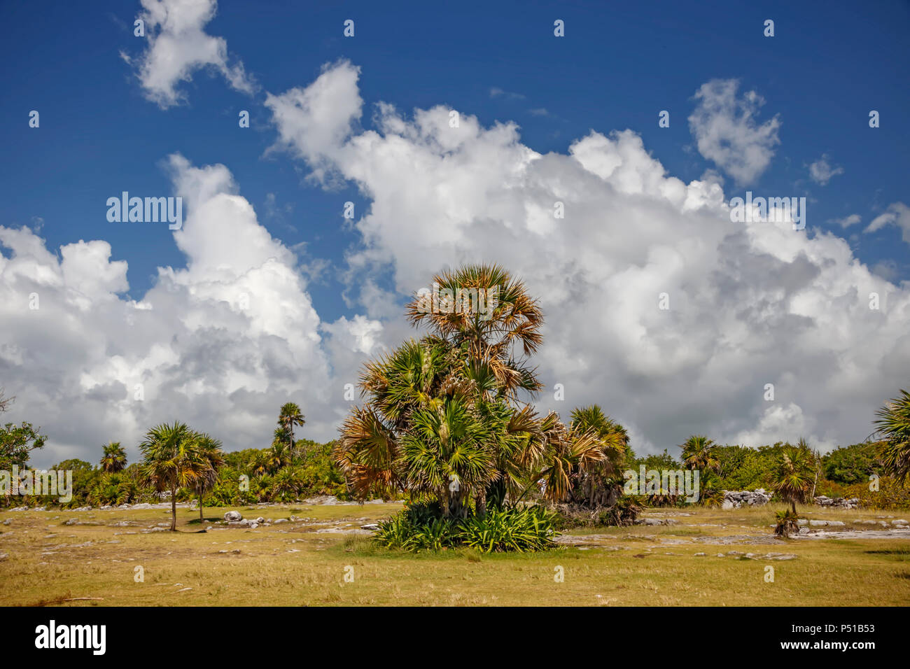 Palm trees against a blue sky with clouds - Stock Image