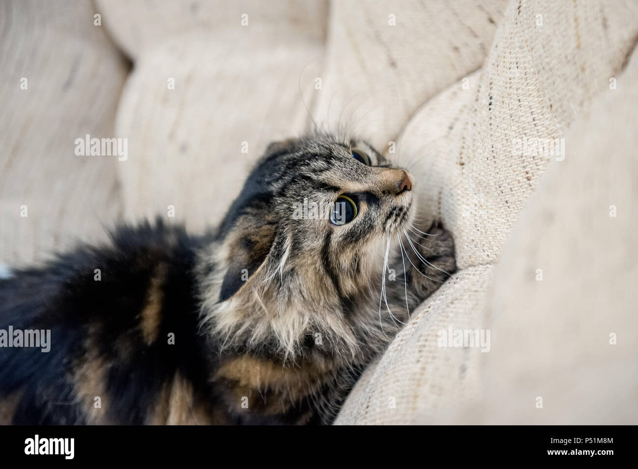 A portrait of the Russian Siberian cats. The cat is preparing to jump. Copy space. Stock Photo