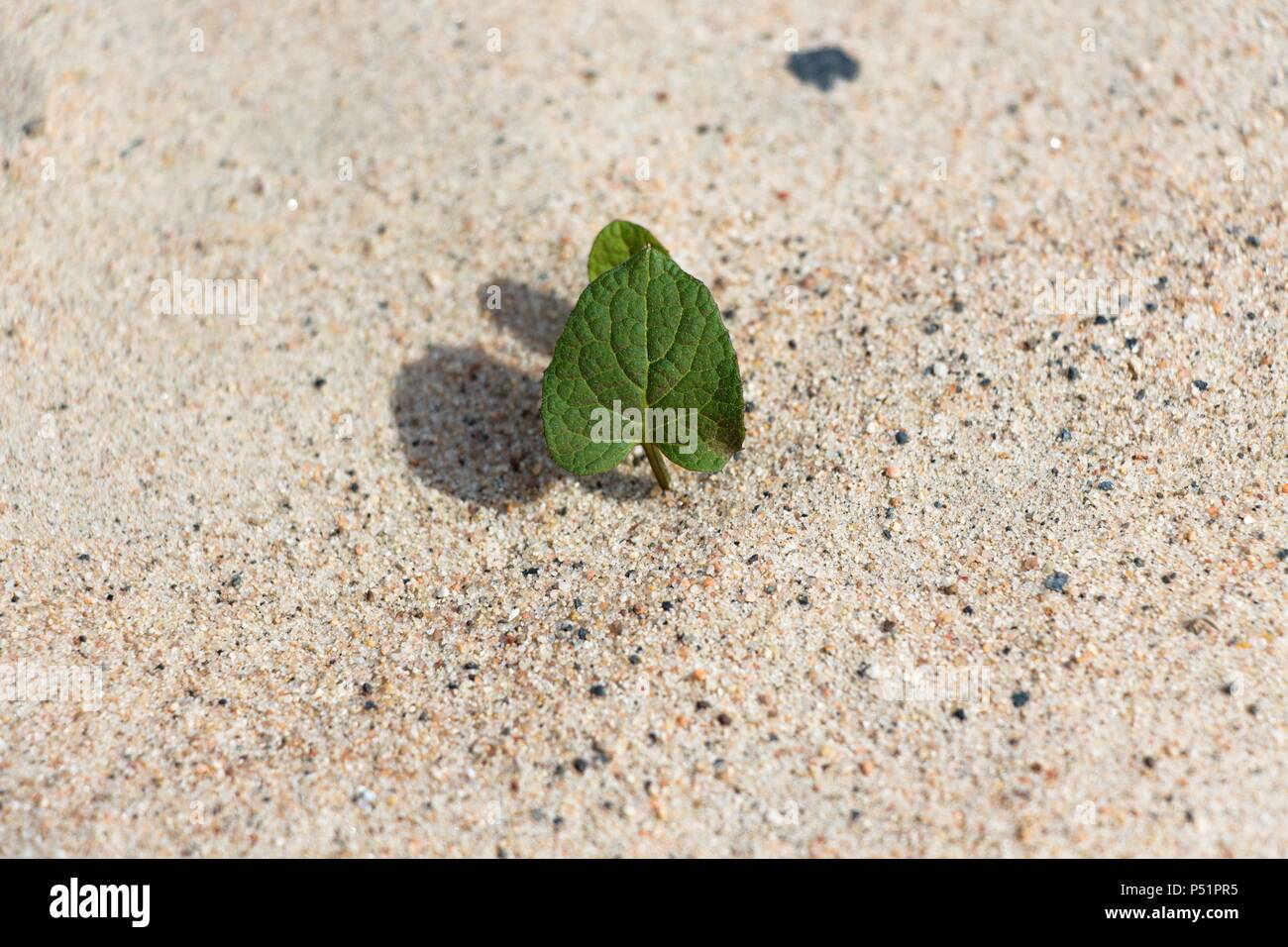 A small plant that sprouts in dry sand. Despite the lack of living conditions, it grows with zeal under the hot sun. - Stock Image
