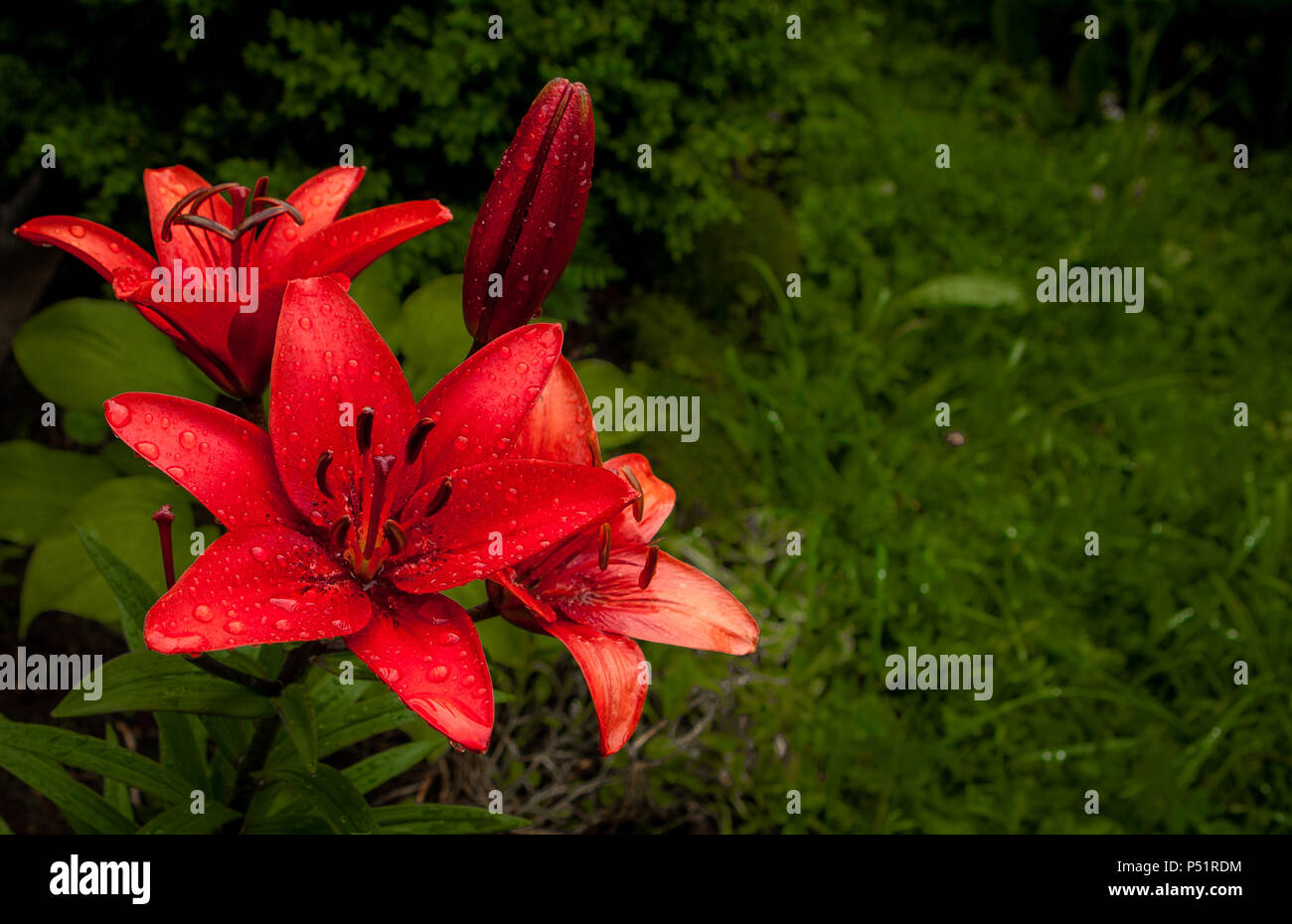 Garden red lily flowers wet from summer rain with copy space stock garden red lily flowers wet from summer rain with copy space izmirmasajfo