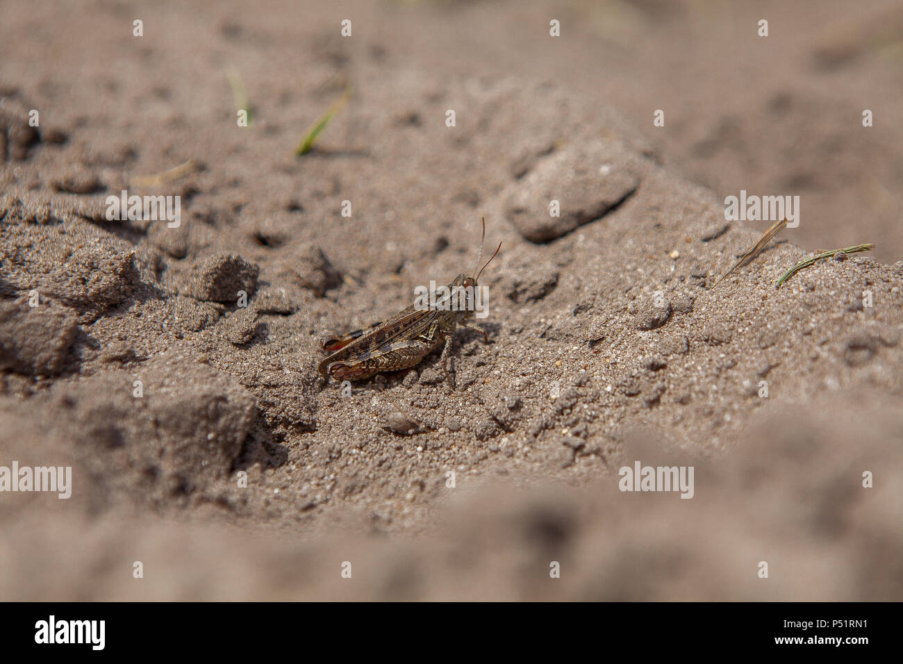 Close-up portrait of grey Woodland Grasshopper on ground. This grasshopper is present in most of Europe, in eastern Palearctic ecozone, in North Afric - Stock Image