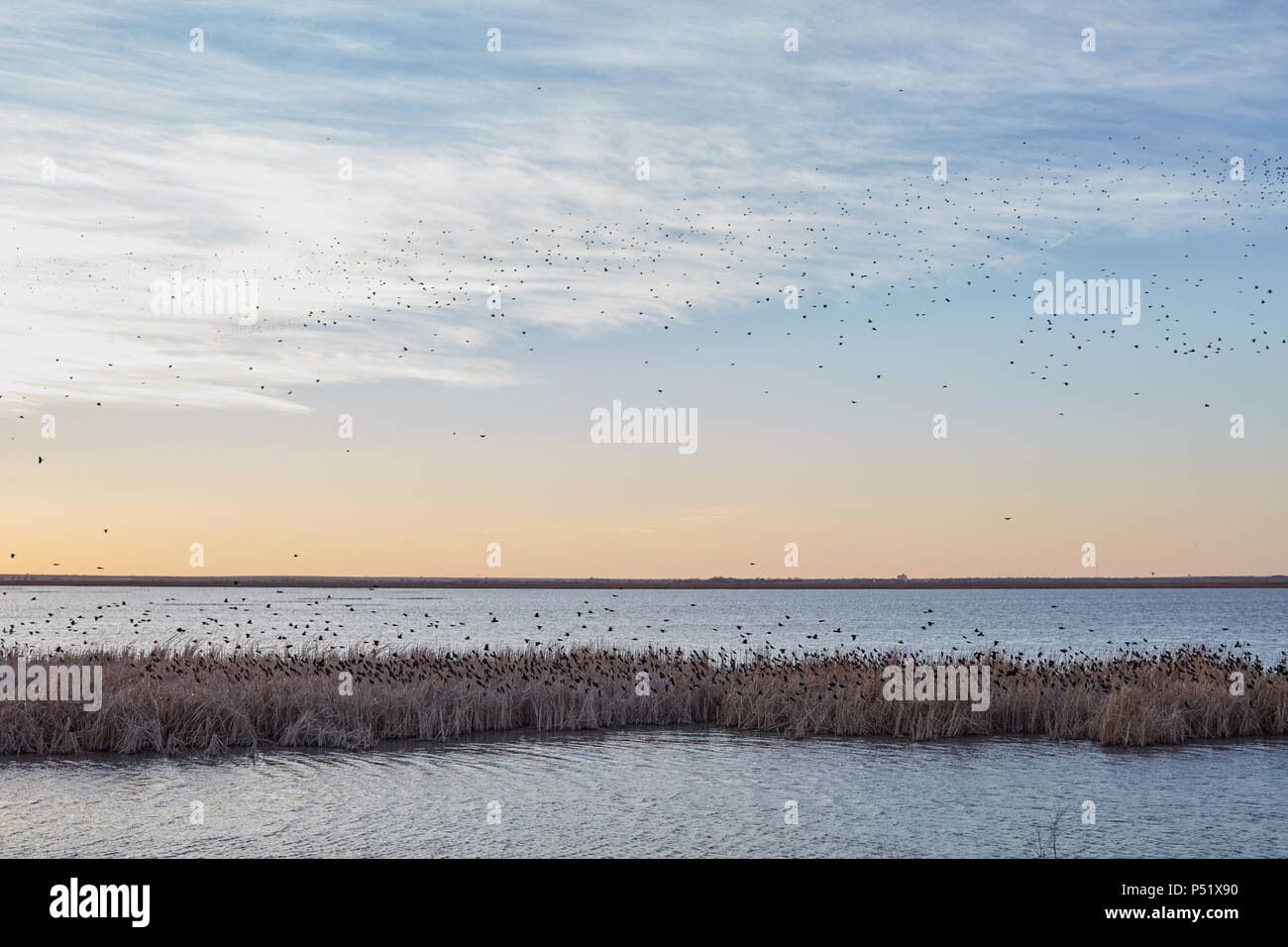 Migrating blackbirds overflying the wetlands of Cheyenne Bottoms, Kansas at sunset with an orange glow in the sky - Stock Image