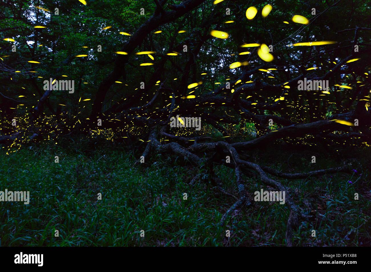 Fireflies flying in forest near Burgas city, Bulgaria. Fireflies in Strandzha mountain. - Stock Image
