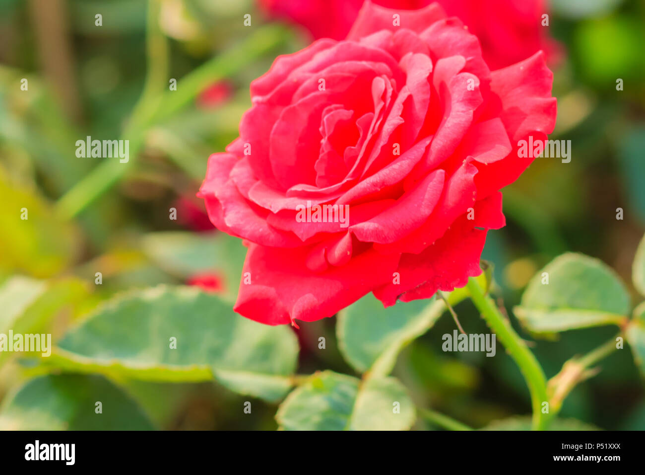 Beautiful Red Rose Flower Blooming On A Bush In Rose Garden Stock