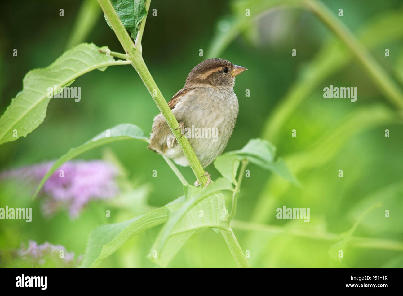Young sparrow, Passer domesticus - Stock Image