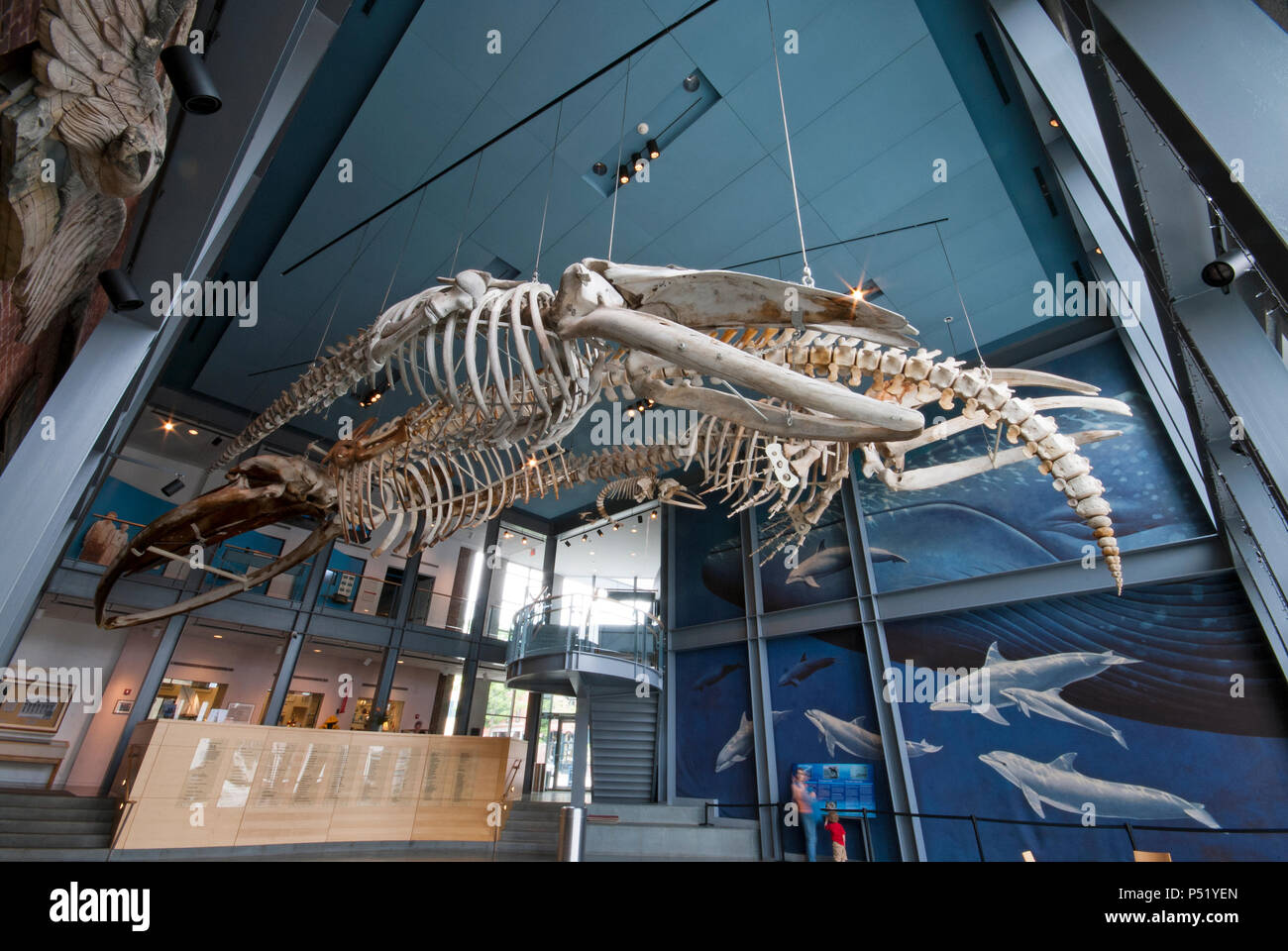 Skeletons of Blue Whale (Balaenoptera musculus) at New Bedford Whaling Museum, New Bedford,  Bristol County, Massachusetts, USA - Stock Image