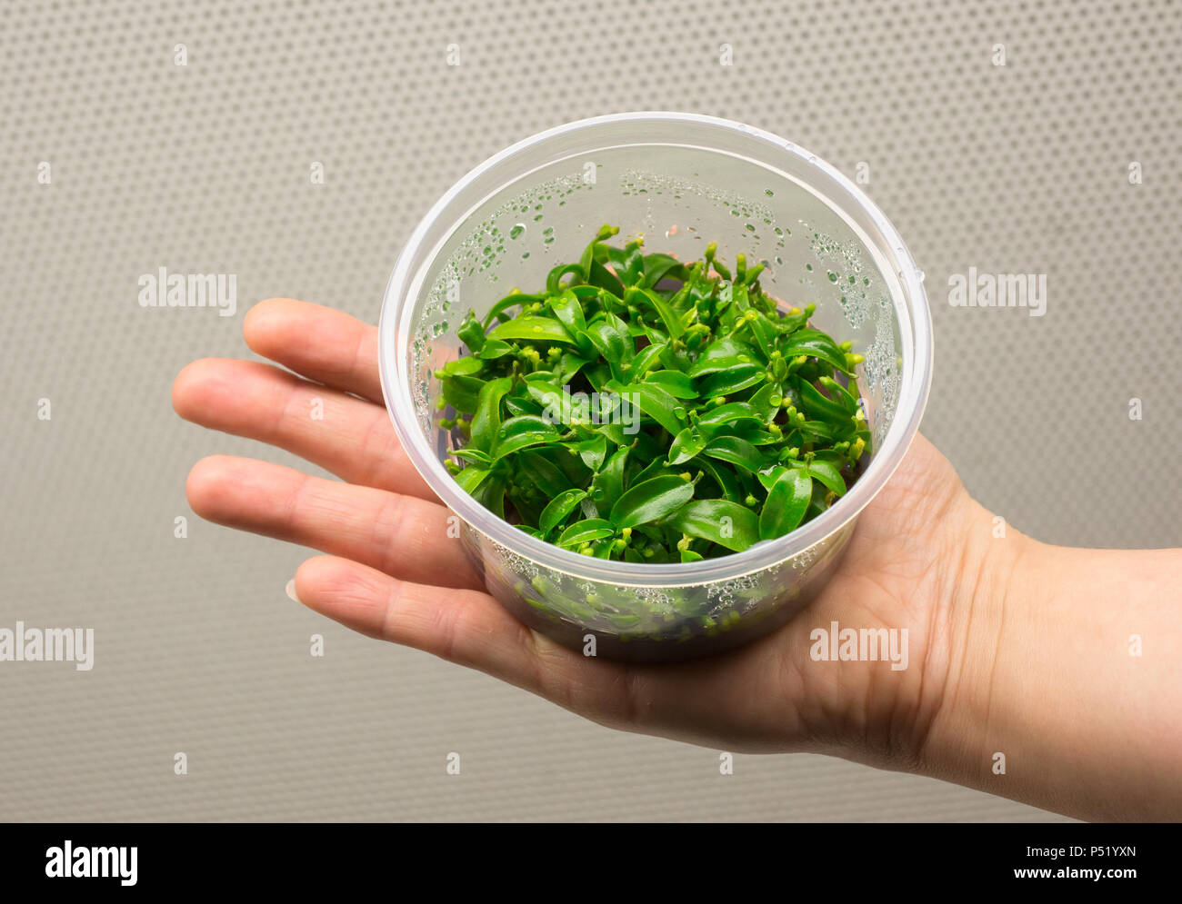 In the laboratory bred seedlings of ornamental plants - Stock Image