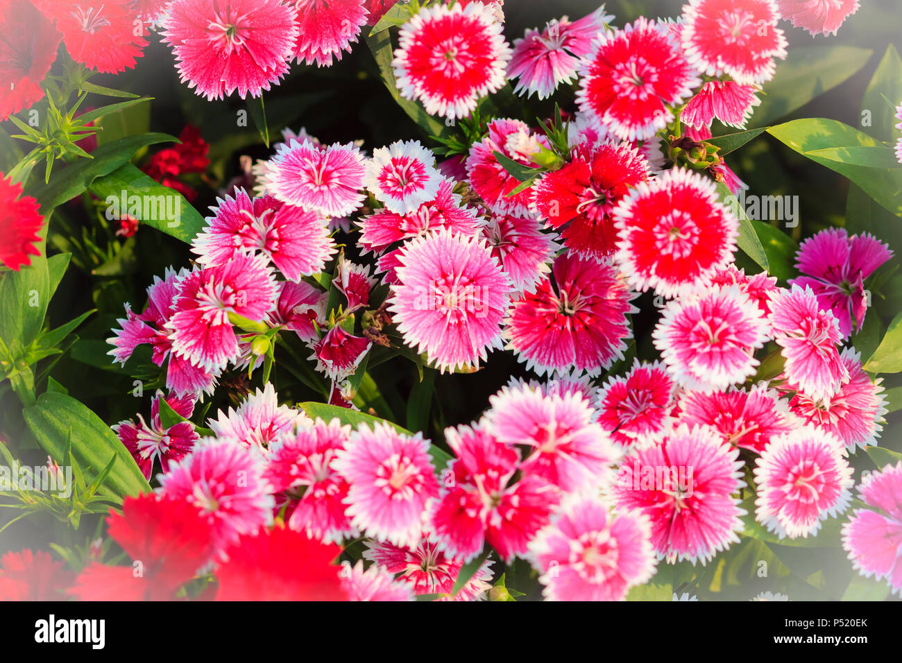Beautiful Background Of Blooming Snowfire China Doll China Pink