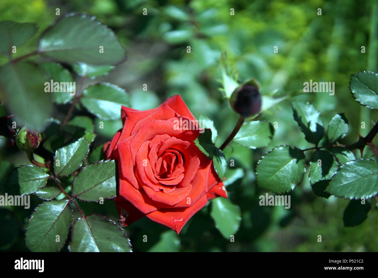 Beautiful red rose on a bed next to the house - Stock Image
