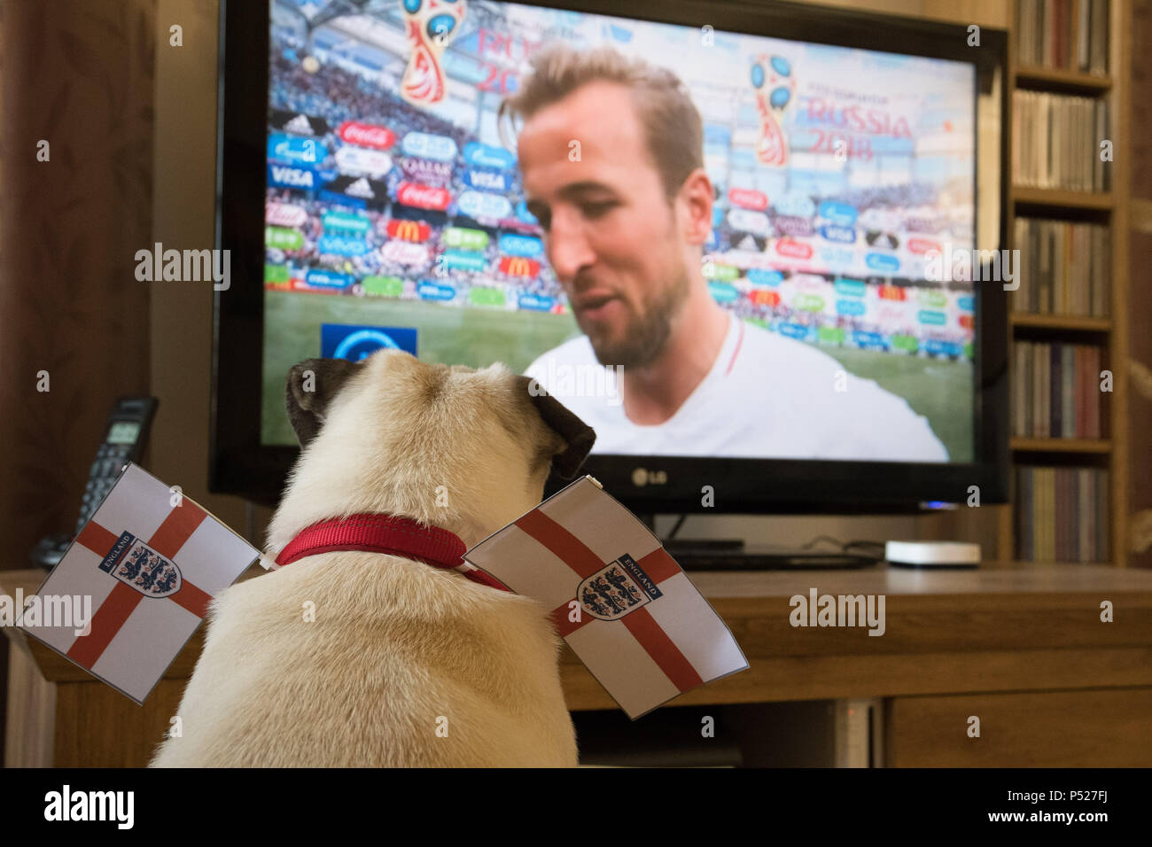 Pug dog watching  Harry Kane the England football captain on television during the 2018 World Cup - Stock Image