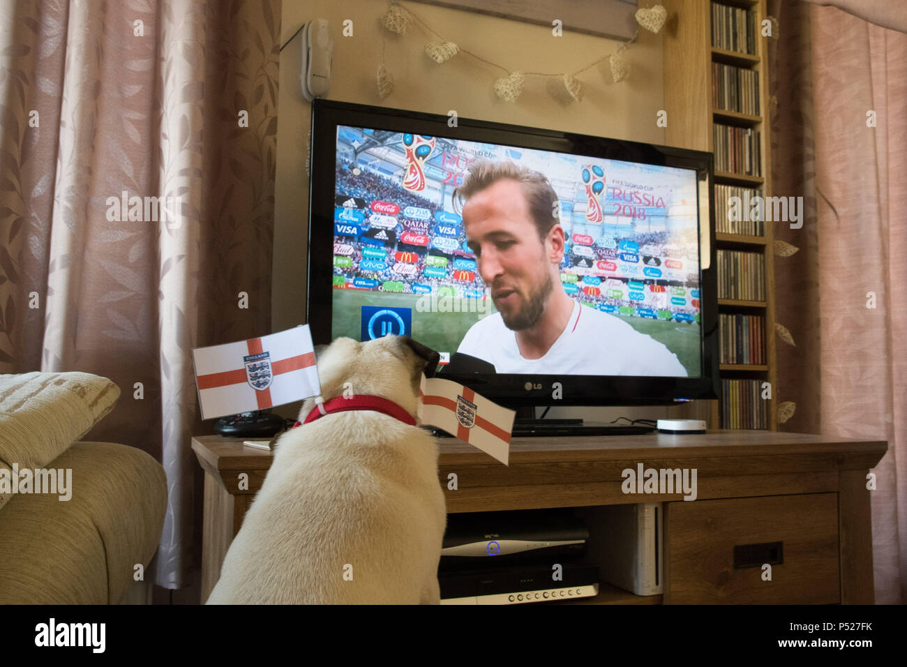 Pug dog watching  Harry Kane the England football captain on televesion during the 2018 World Cup - Stock Image
