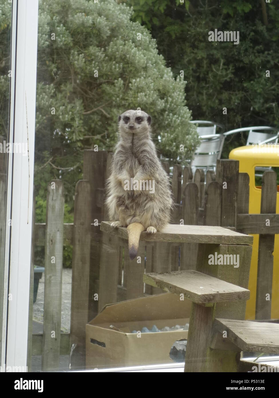 A meerkat in captivity - Stock Image