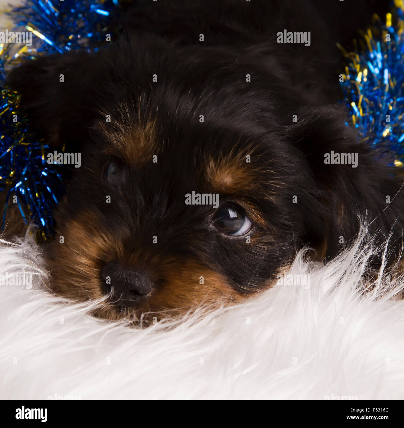 Cute Pets Baby Animals Christmas High Resolution Stock Photography And Images Alamy
