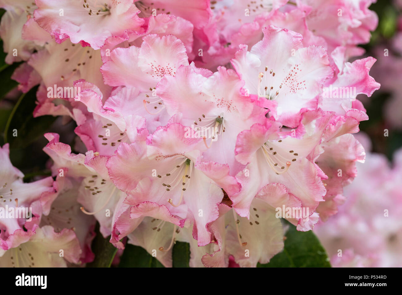 Close up of beautiful pink Rhododendron in flower Stock Photo
