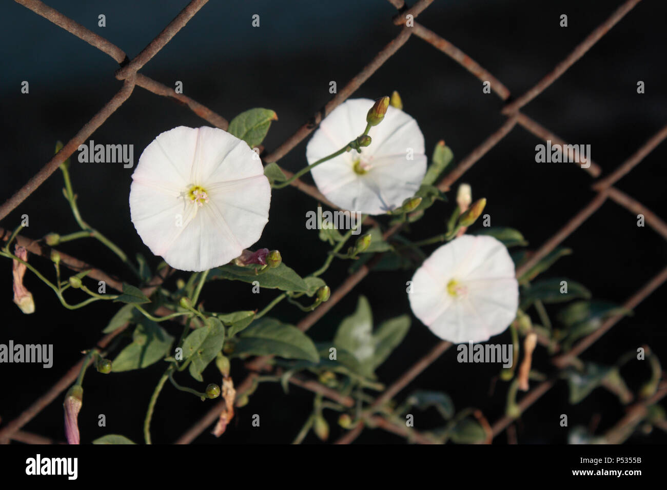 Flowers blooming on fence against a dark background. Concept photo representing hope, tenacity, struggles for freedom, survival etc. - Stock Image