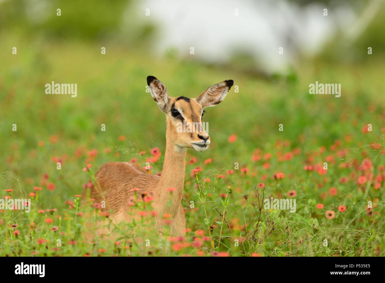 impala grazing among the red floweers Stock Photo