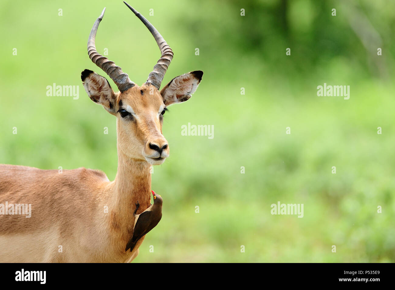 impala and oxpecker - Stock Image