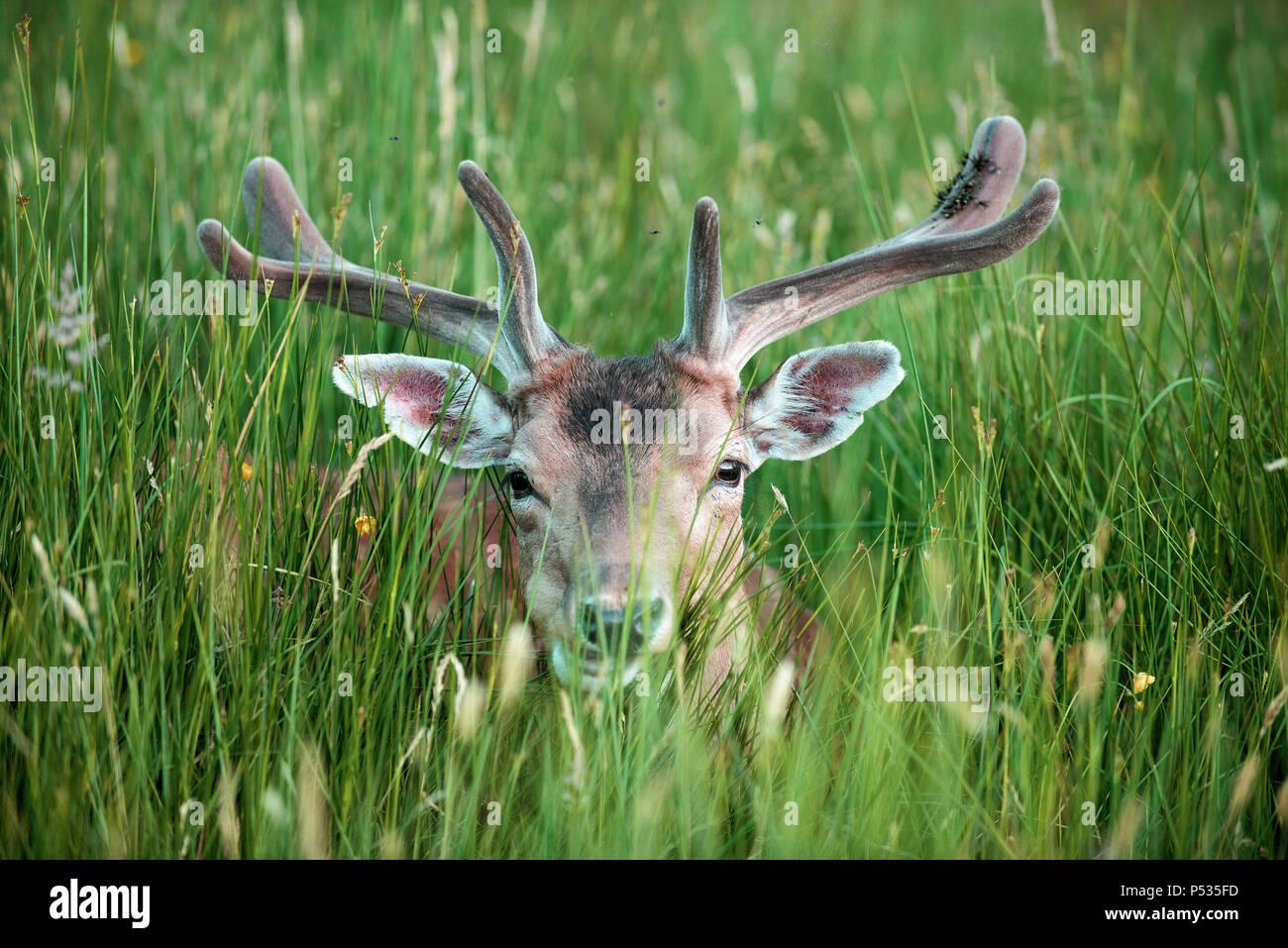 Fallow Deer Hiding in grass, UK (Dama Dama) - Stock Image