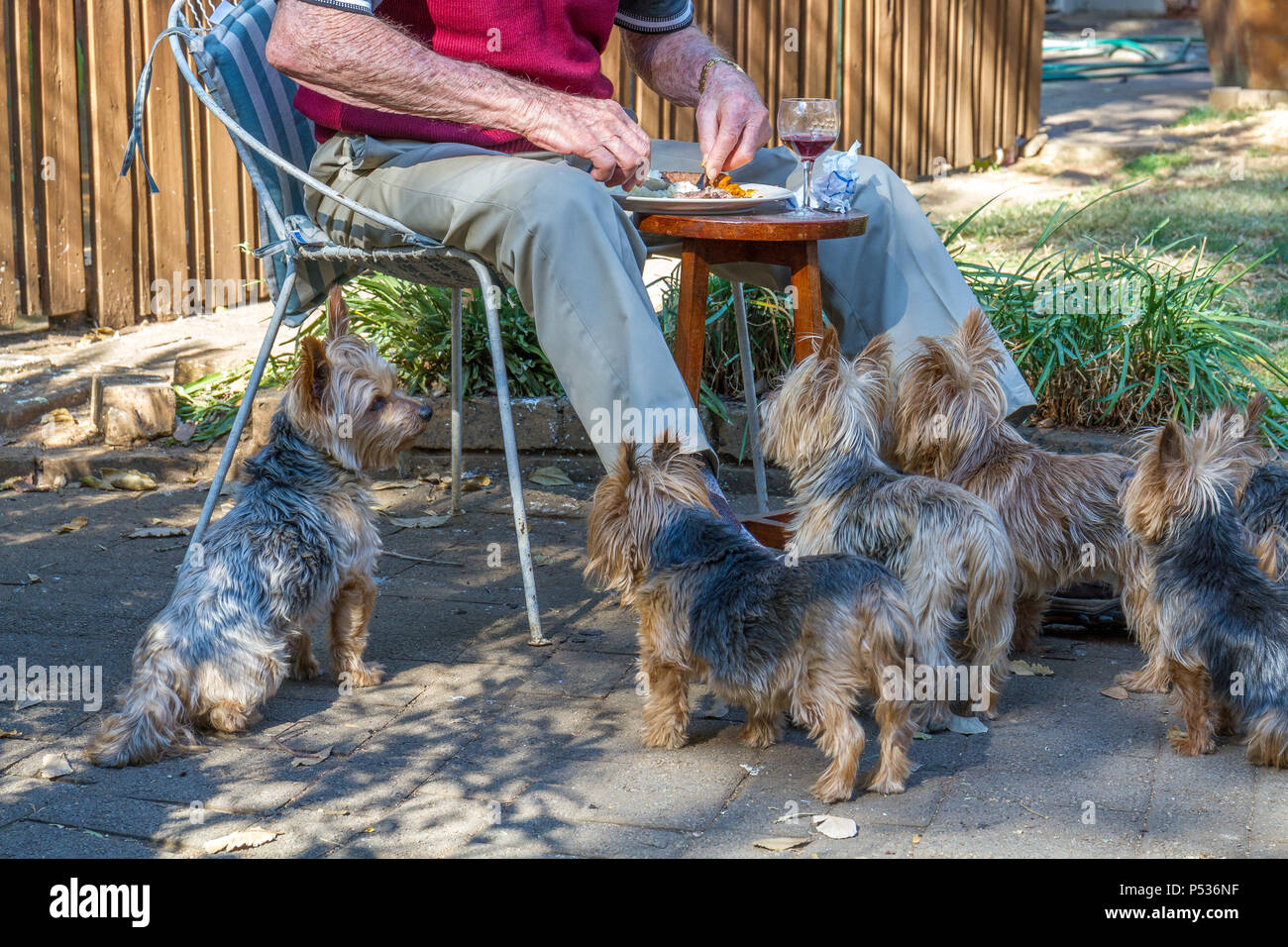 Small dogs waiting patiently for titbits of food to drop from the table image with copy space in landscape format - Stock Image