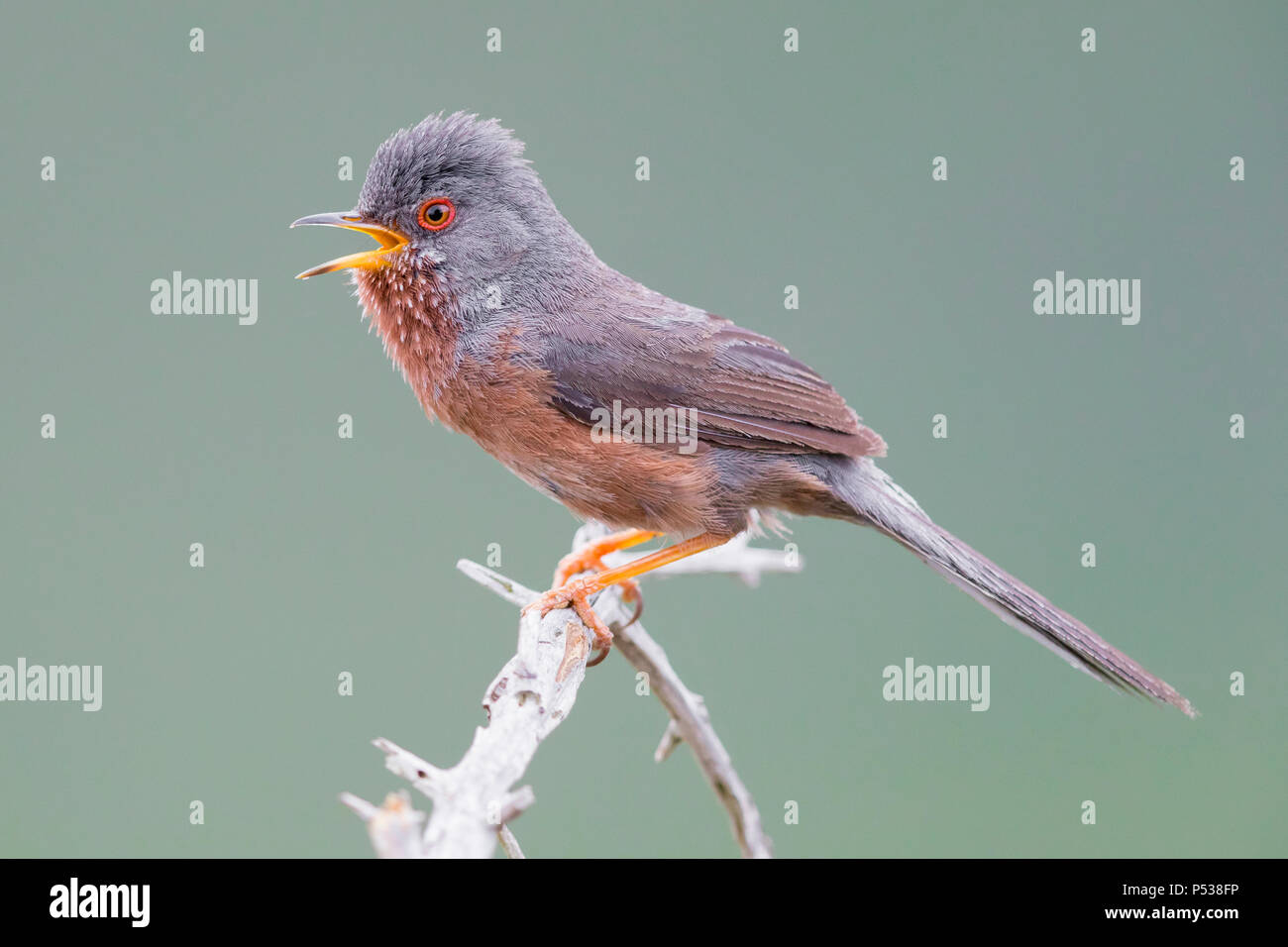 Dartford Warbler (Sylvia undata), adult male singing from a small branch - Stock Image