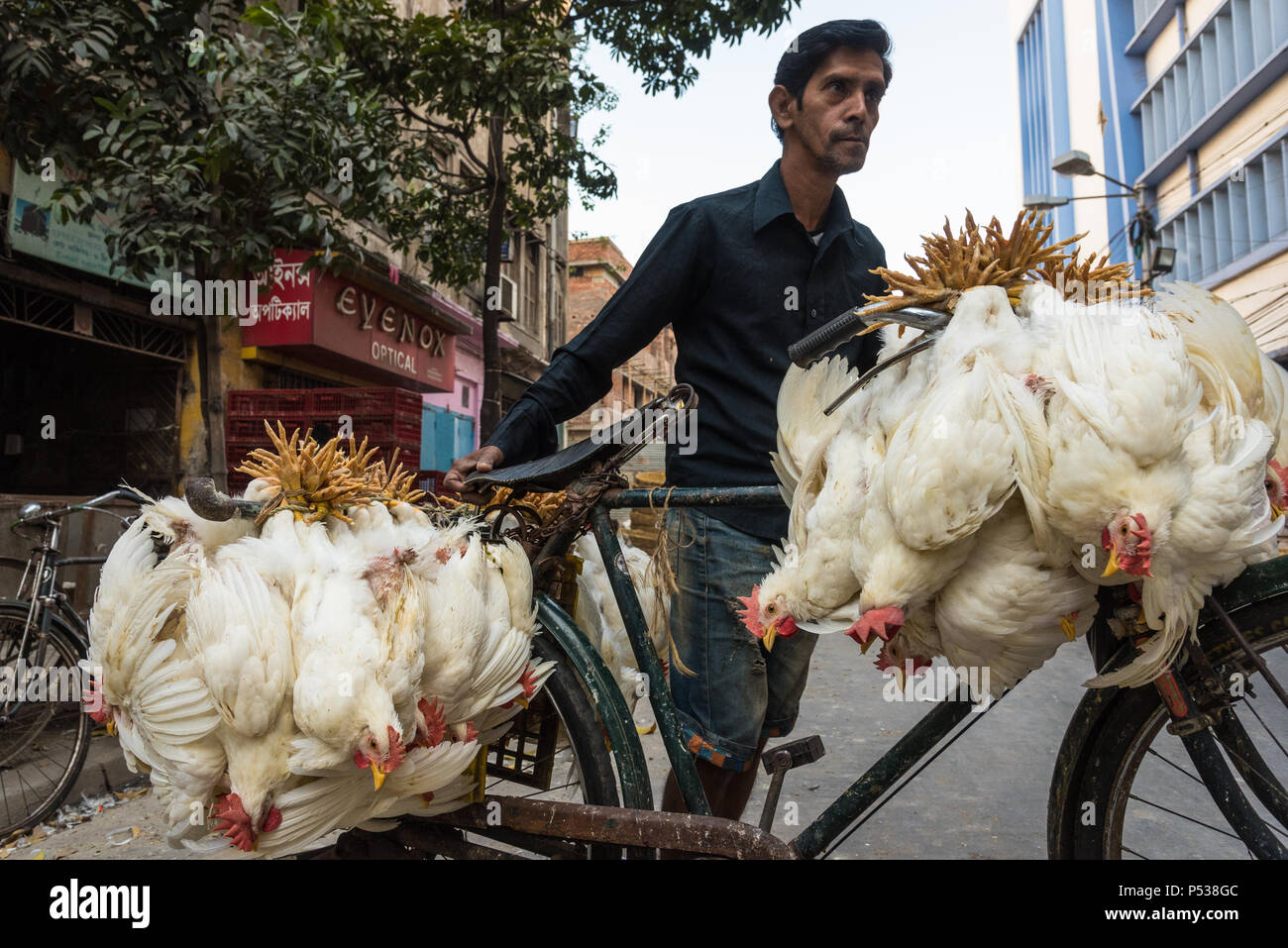 A man hauls off a recently purchased batch of chickens on his bicyclei Kolkata, India. - Stock Image